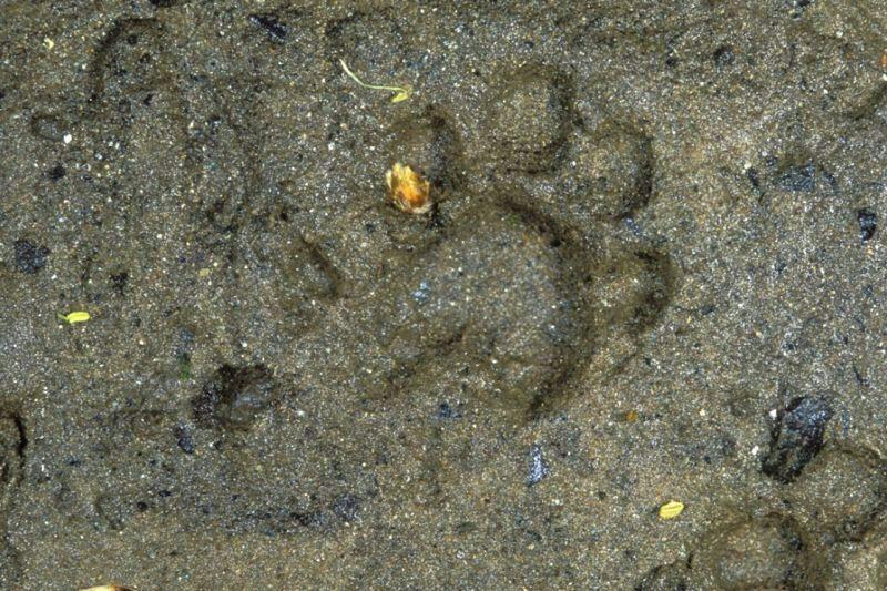 ottersporen in de Oostvaardersplassen