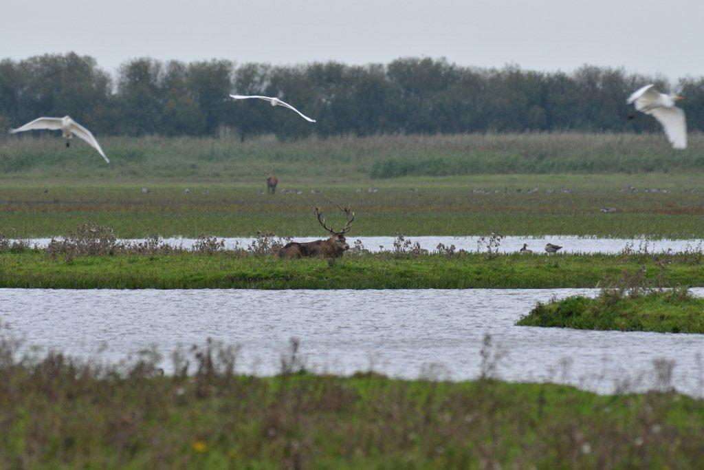Zittend hert en vliegende grote zilverreigers in de Oostvaardersplassen