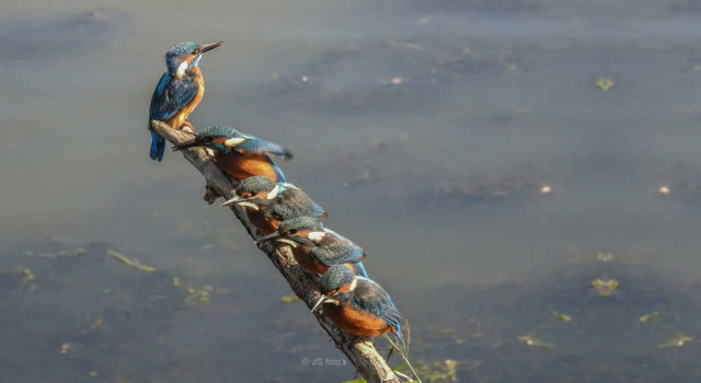 Five kingfishers