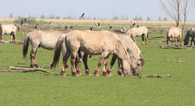 72bf12eceff We krijgen veel vragen binnen over wat de grazers in de Oostvaardersplassen  eten, omdat het gras nog zo kort lijkt. De afgelopen week hebben we kunnen  ...
