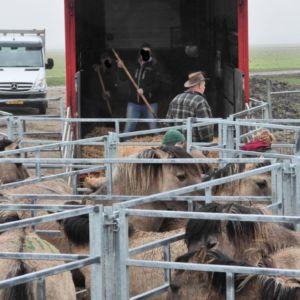 konikpaarden gaan op transport