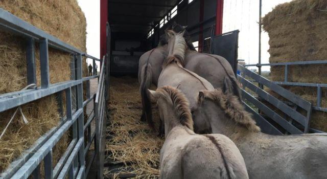 konikpaarden lopen vrachtwagen in