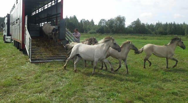 konikpaarden in wit rusland