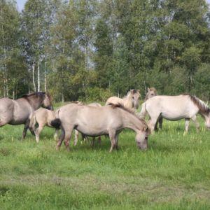 konikpaarden in wit-rusland