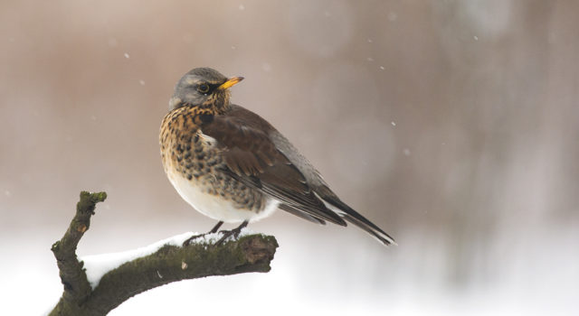 Kramsvogel (Foto: Wikipedia)