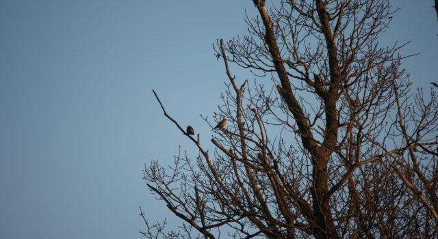 Twee Kramsvogels in een oude Eik