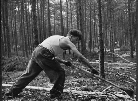 Na het vellen moesten bomen worden ontschorst om insecten geen kans te geven en plagen te voorkomen | Foto: Beeldbank Staatsbosbeheer