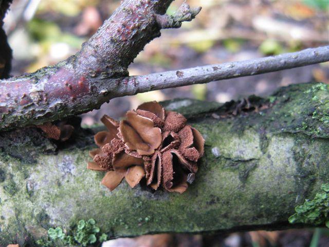Hazelaarschijfzwam-Encoelia furfuracea (3)Joke Bos