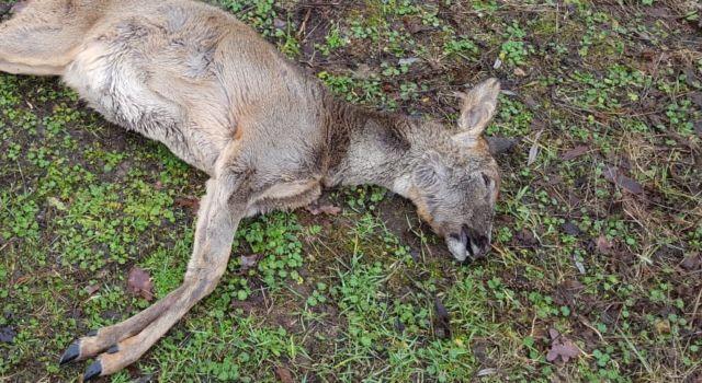 Ree, dood gegaan in het verkeer, voor de webcam van Buitengewoon.