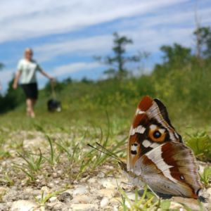 Grote weerschijnvlinder op het pad in de Bruuk