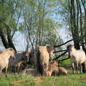 Konikpaarden in Munnikenland