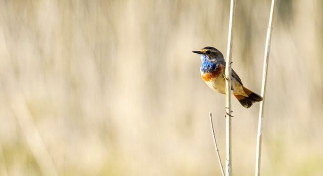 Blauwborst, foto: Twan Teunissen