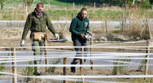 Rietaanplant Rijnstrangen