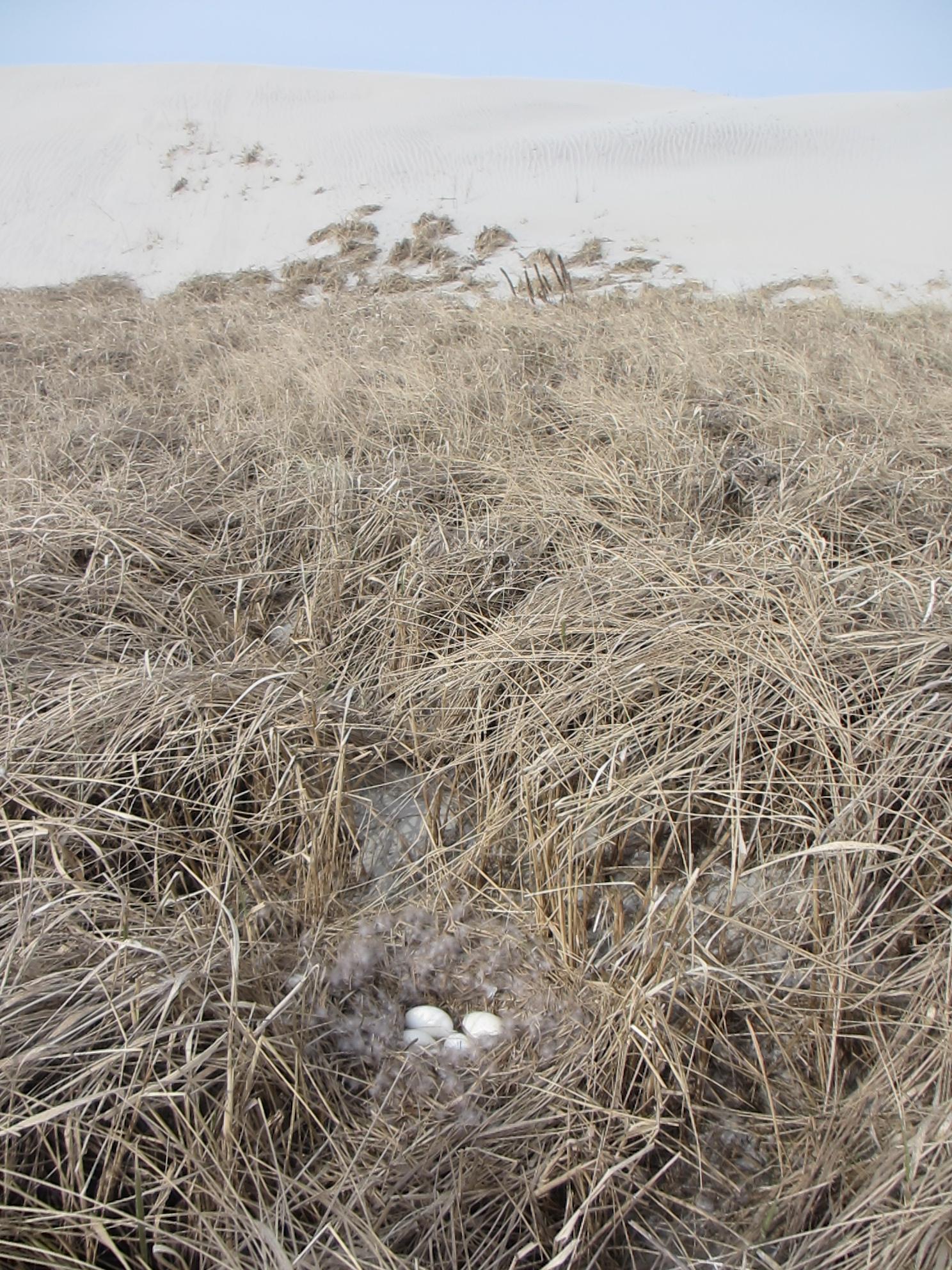 Grauwqe ganzenei-legsel op de oostelijke wash-over
