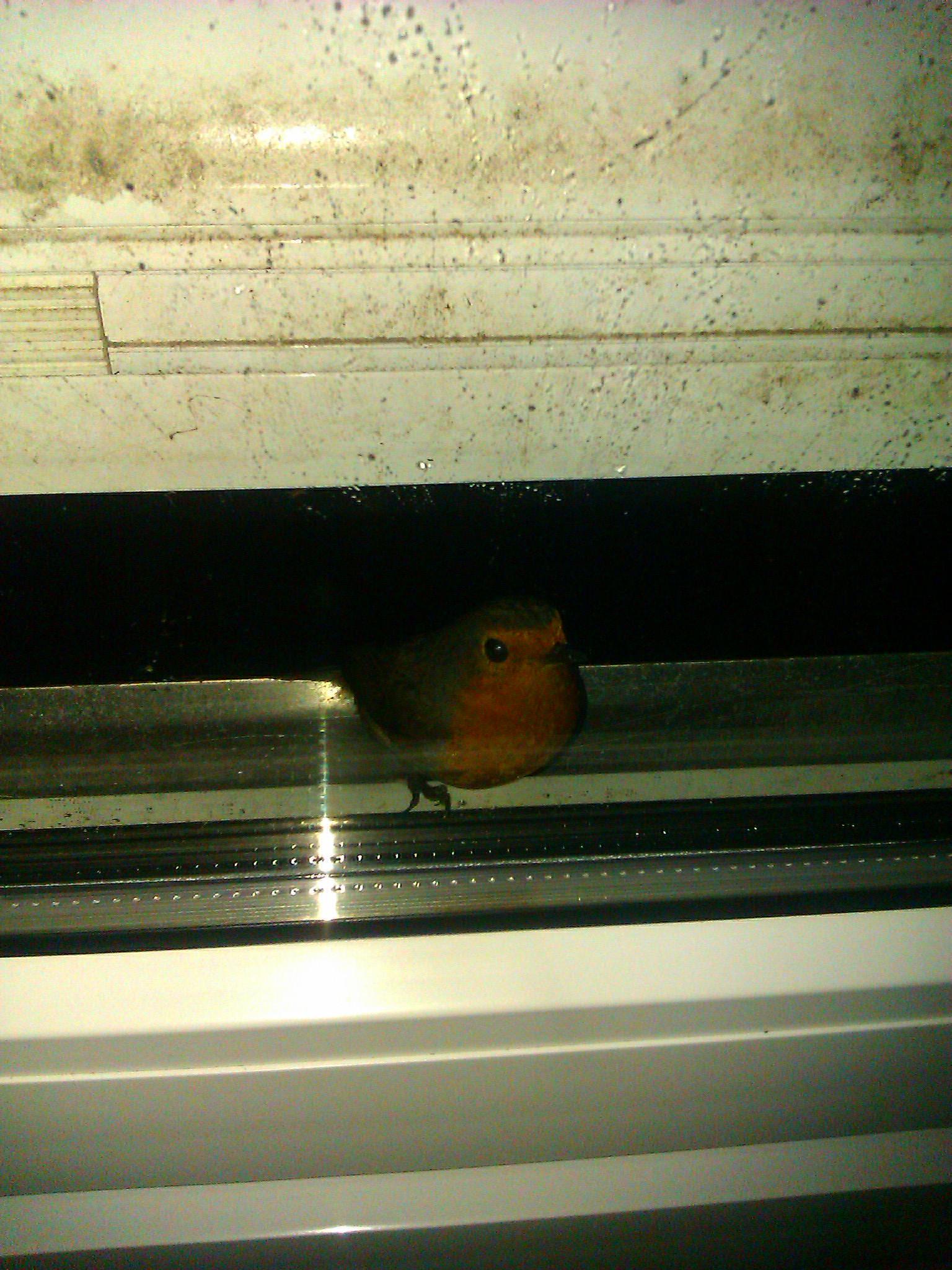 Roodborstje tikt tegen het raam van het vogelwachtershuis