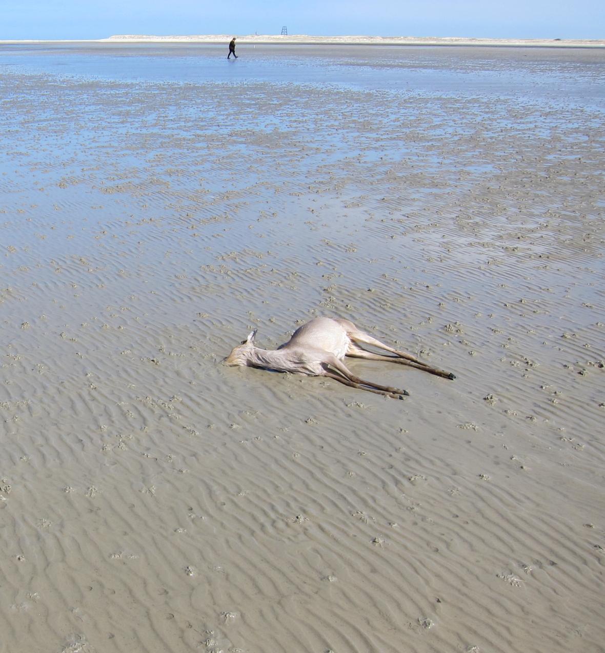 Dode ree met laag water op de Waddenzee