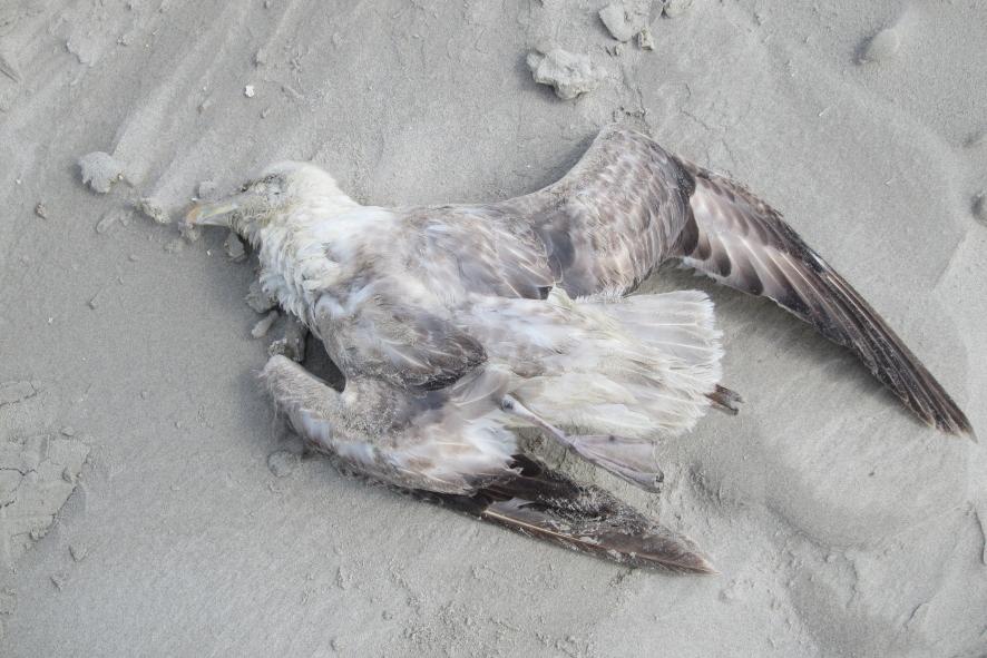 Aangespoelde Noordse stormvogel