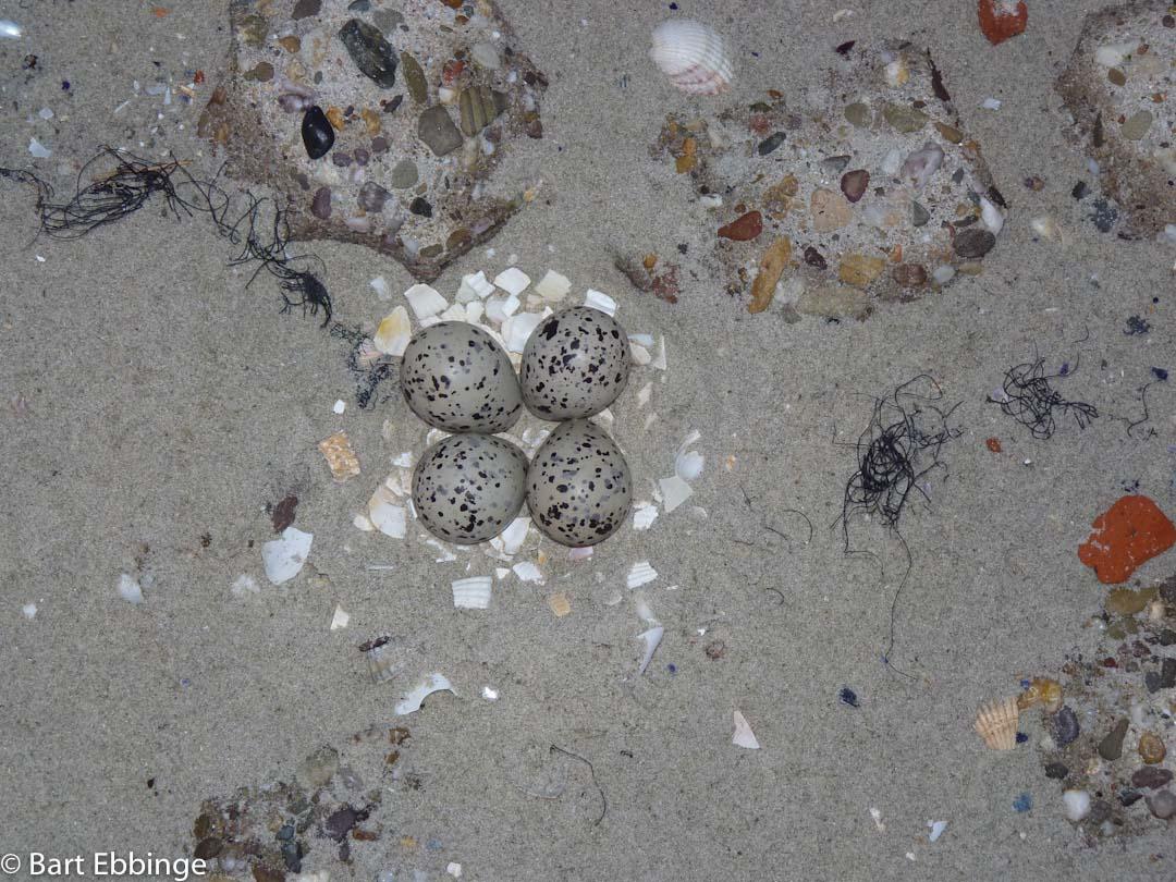 Nest bontbekplevier