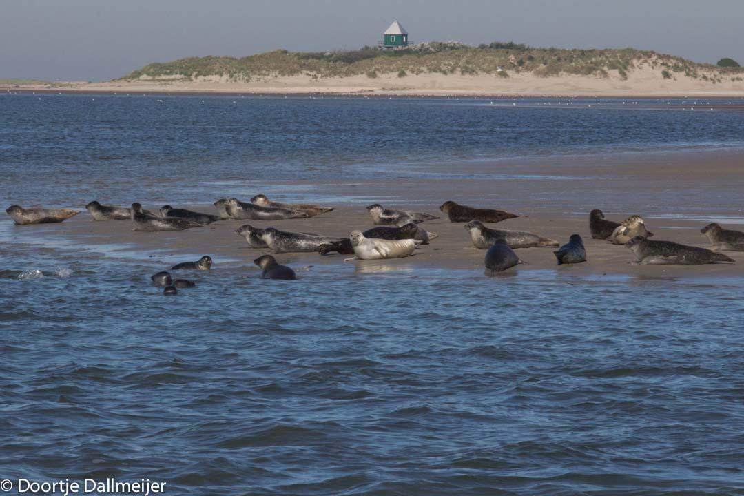 Gewone zeehonden op de oostpunt