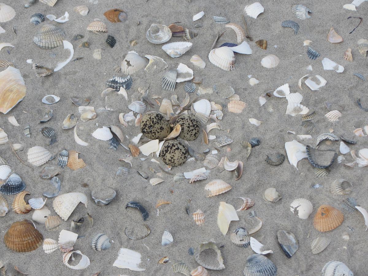 Legsel van de strandplevier.