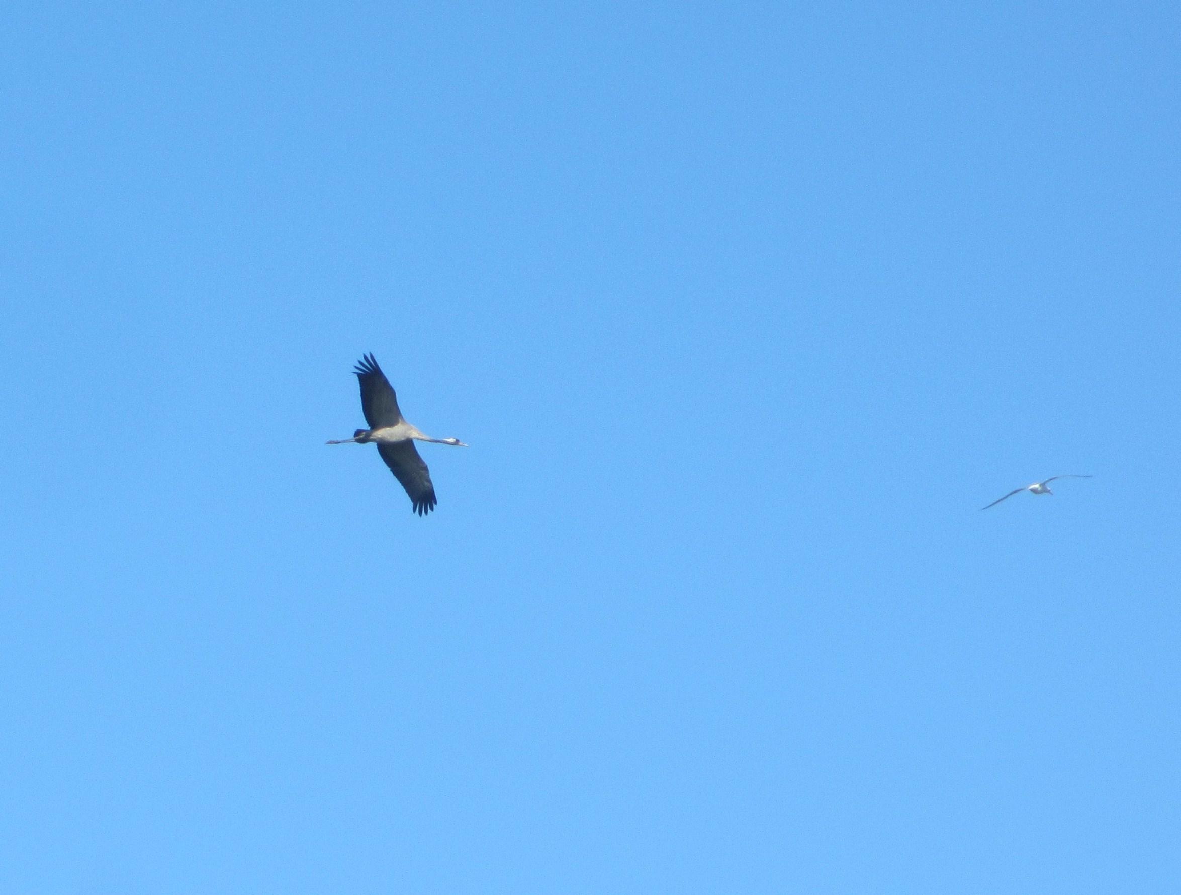 Kraanvogel in de lucht.
