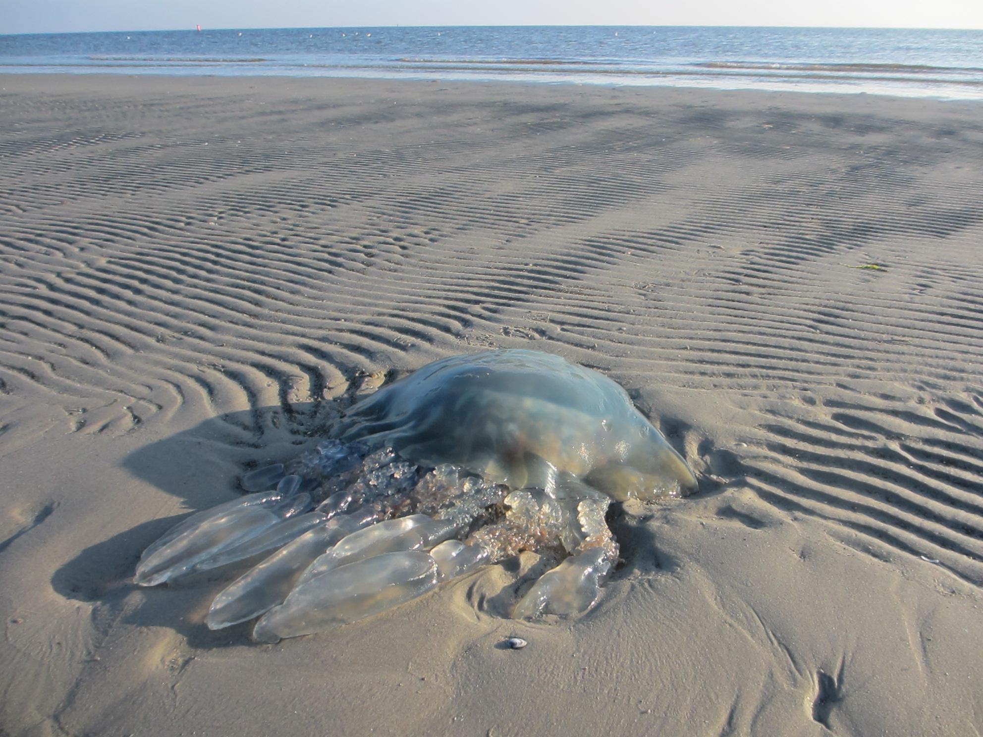 Zeepaddenstoel langs de Lauwers
