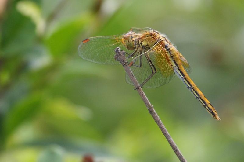 Geelvlekheidelibel