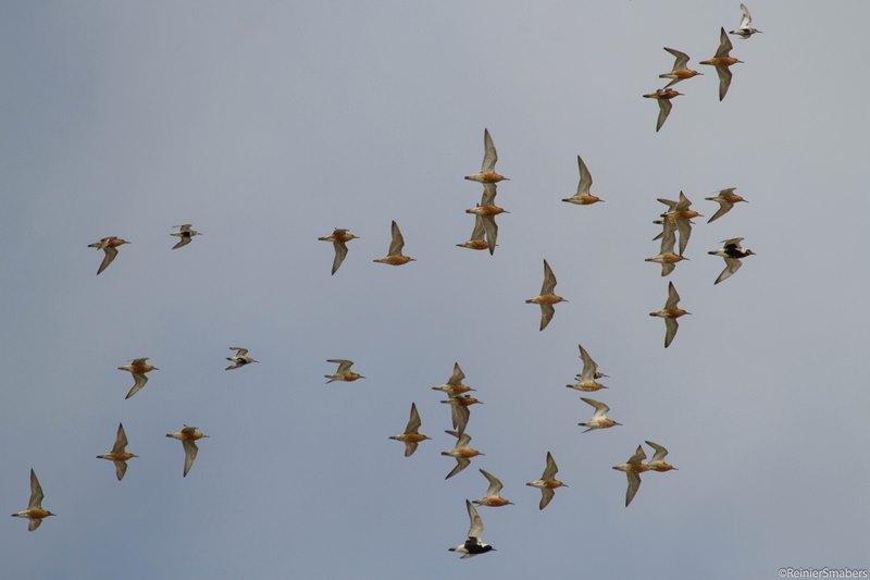 Steltlopers in vlucht (foto: Reinier Smabers)