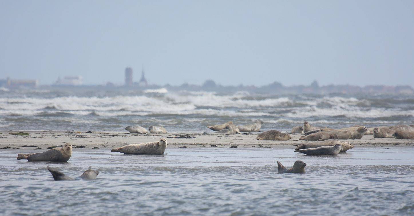 Zeehonden op oostpunt Rottumerplaat. Foto: Martijn Bunskoek