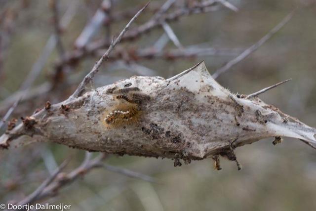 Spinsel bastaardsatijnvlinder
