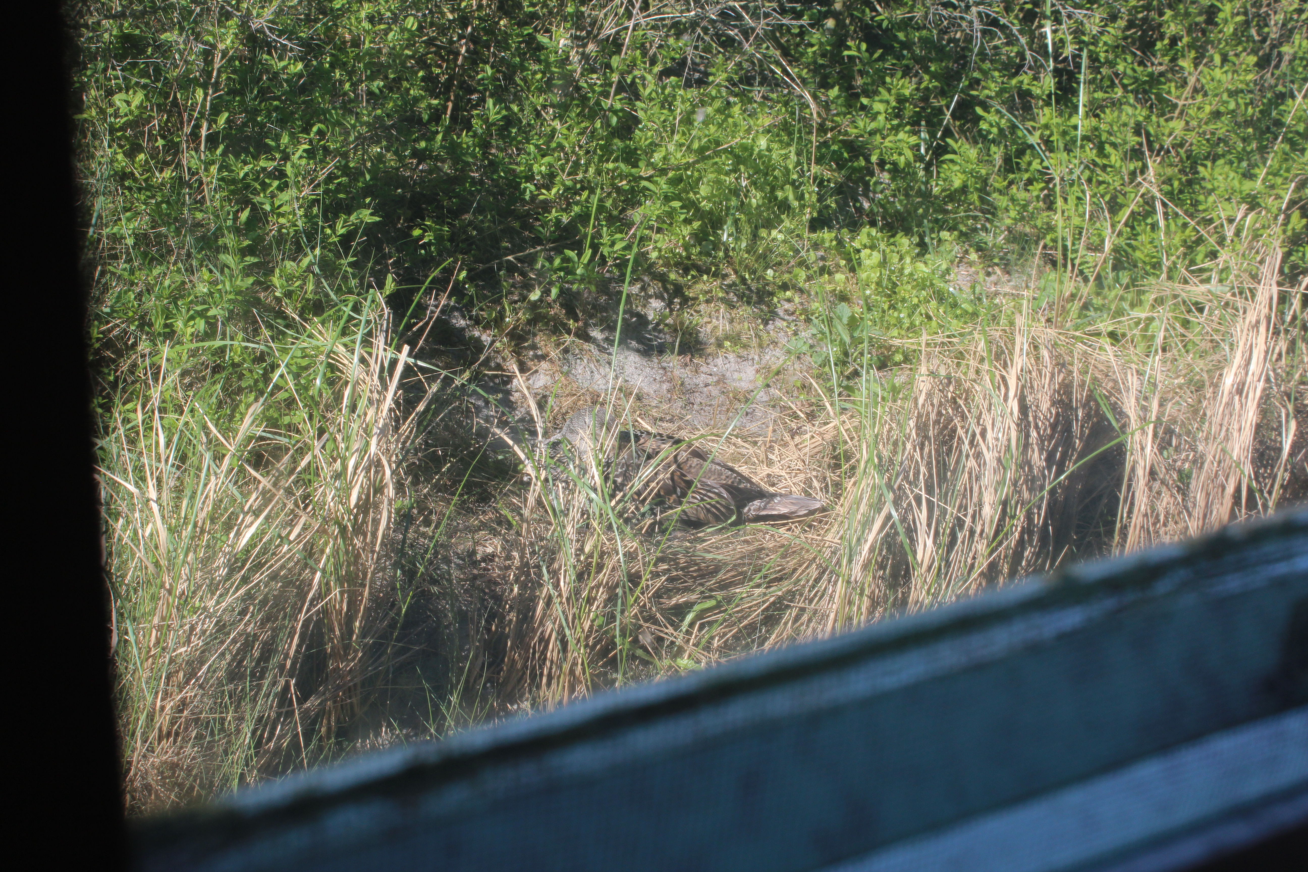 Eidereend broedt achter het vogelwachtershuis!