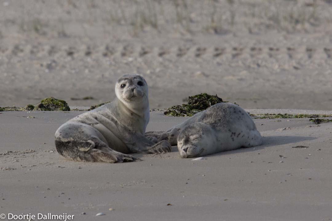 Jonge zeehonden.