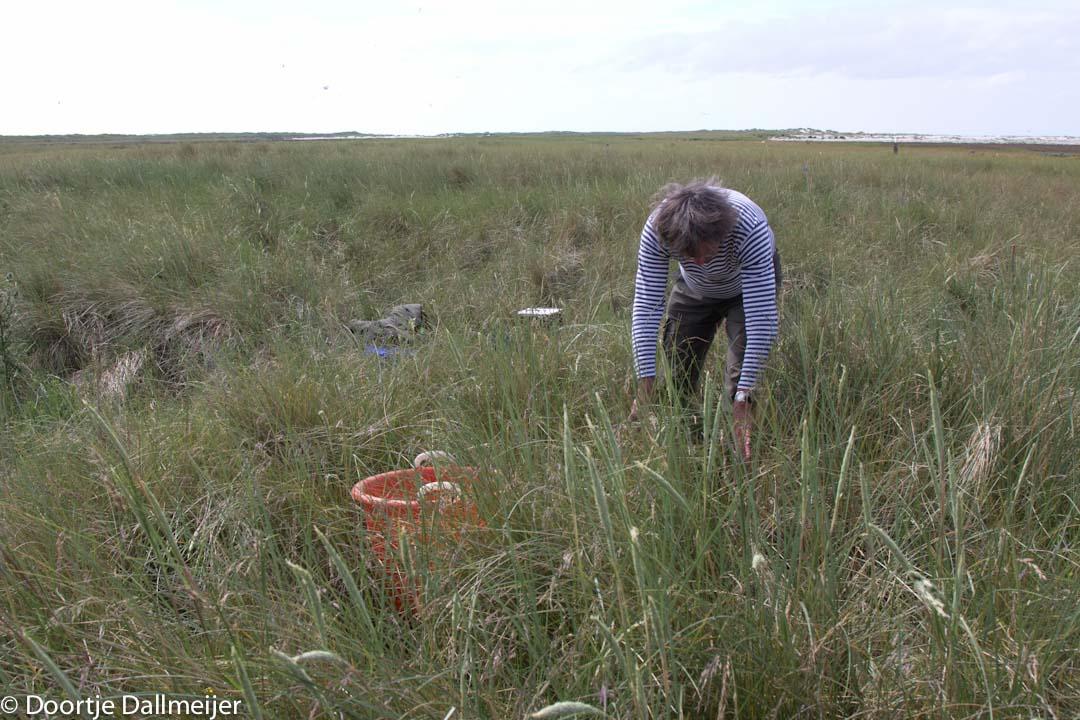 rottumerplaat zoeken naar meeuwen