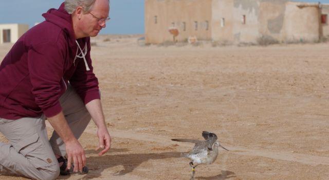 Theunis Piersma laat gezenderde rosse grutto vrij in Mauretanië