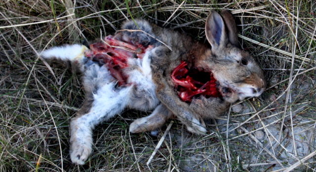 dood konijn Rottumerplaat