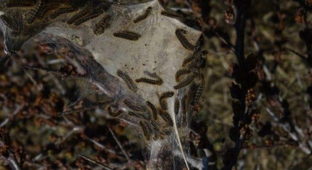 bastaardsatijnrups spinsels in duindoornstruik