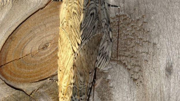 parende Hermelijnvlinders