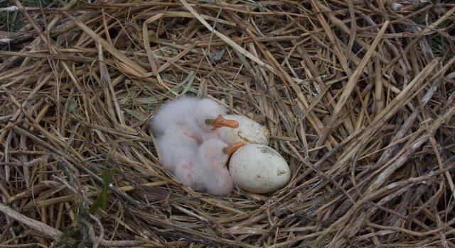 lepelaarkuikens en twee nog niet uitgekomen eieren