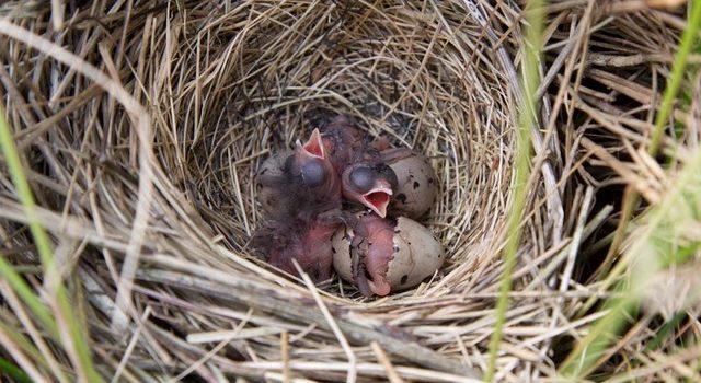 Nest van rietgors met pas uitgekomen kuikens en 2 eieren
