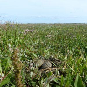 nest visdiefjes op Zuidkwelder Rottumerplaat 2017