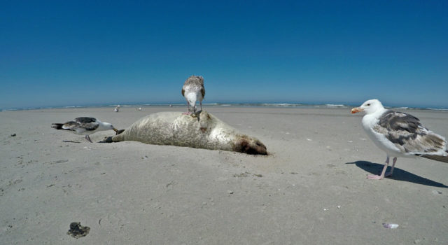 grote mantelmeeuwen en dode zeehond