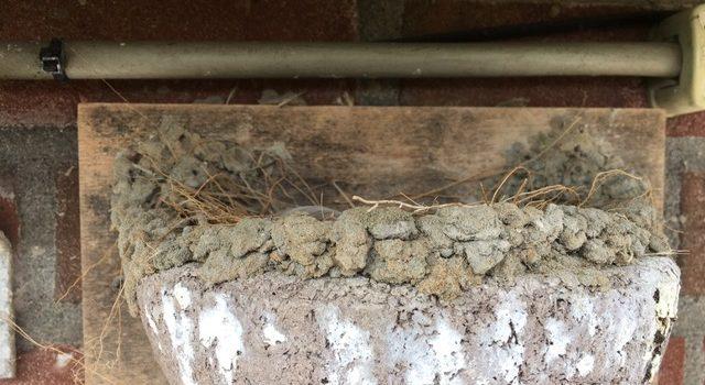 nest boerenzwaluw