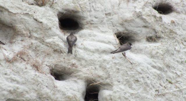 oeverzwaluwnesten Rottumerplaat