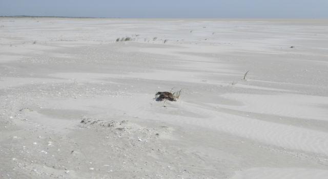 eidereend broedend op het strand, Rottumerplaat, mei 2018
