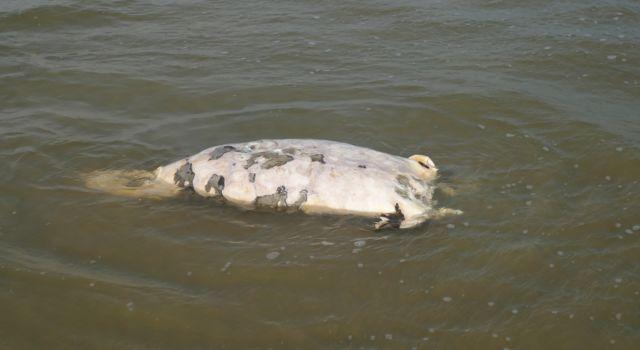 Dode zeehond.