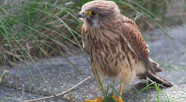 Deze verzwakte Torenvalk was in mei dit jaar als jong geringd in Midden-Friesland. Het laat mooi de dispersie van jonge vogels zien.