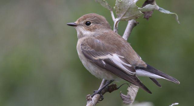 Op sommige dagen was de bonte vliegenvanger de meest talrijke zangvogel op het eiland.