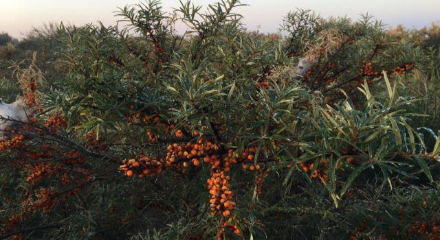 De duindoorns hangen krom van de bessen. Belangrijk voedsel voor de honderden lijsters die nog gaan komen.