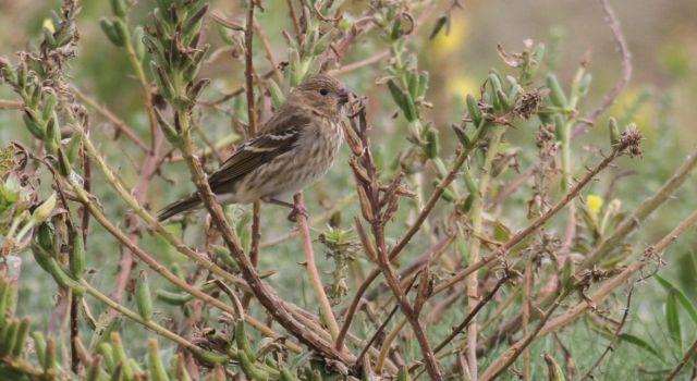 Roodmus op het Noordrif (het is een eerstejaars vogel dus nog niet rood).