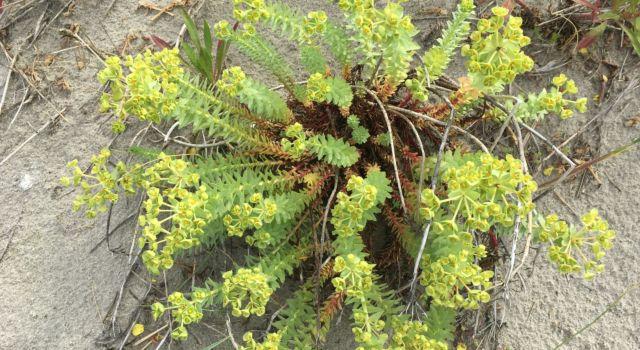 Zeewolfsmelk is een zeldzame maar karakteristieke plantensoort van de zeereep.
